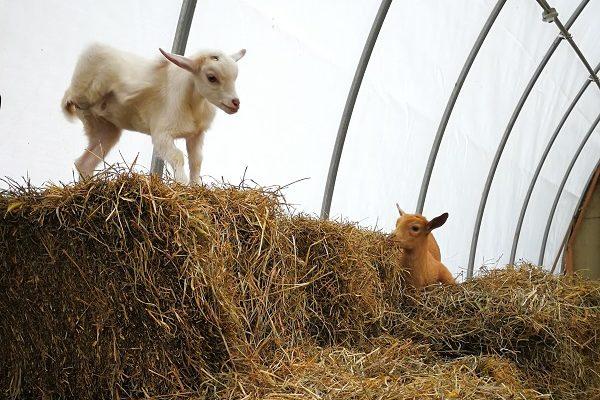 Ziegen stehen auf einem Heuhaufen