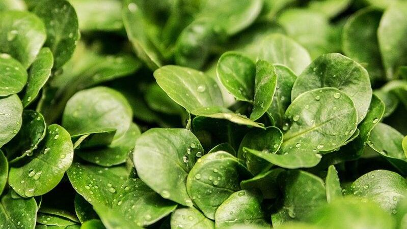 Die gesündesten Salatsorten